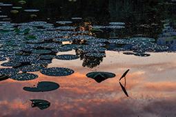 Water Lilies at Dawn - Study I