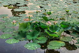 Water Lilies in Bucharest - Study I