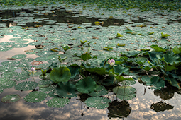 Water Lilies in Bucharest - Study X