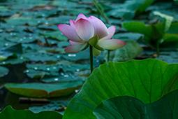 Water Lilies in Bucharest - Study XXIX