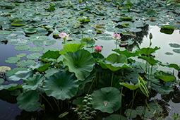 Water Lilies in Bucharest - Study XXXI