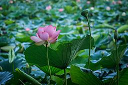 Water Lilies in Bucharest - Study XXXII