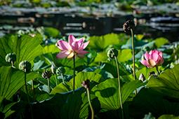 Water Lilies in the Sun - Study III