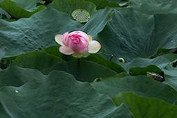 Waterlilies in Bucharest - Study XLII