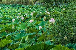 Abundance of Waterlilies - Study I - waterlilies, bucharest, waterlilies of bucharest, photography
