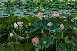 Abundance of Waterlilies - Study II - waterlilies, bucharest, waterlilies of bucharest, photography