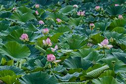 Abundance of Waterlilies - Study III - waterlilies, bucharest, waterlilies of bucharest, photography