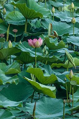 Abundance of Waterlilies - Study IV - waterlilies, bucharest, waterlilies of bucharest, photography