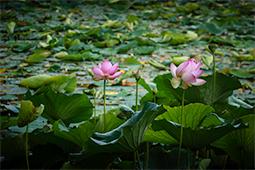 Abundance of Waterlilies - Study V - waterlilies, bucharest, waterlilies of bucharest, photography, egyptian waterlilies, low key, low-key