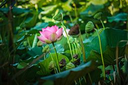 Blazing Waterlilies - Study I - waterlilies, bucharest, waterlilies of bucharest, photography, egyptian waterlilies, low key, low-key