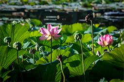 Blazing Waterlilies - Study III - waterlilies, bucharest, waterlilies of bucharest, photography, egyptian waterlilies, low key, low-key