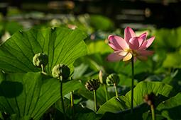 Blazing Waterlilies - Study IV - waterlilies, bucharest, waterlilies of bucharest, photography, egyptian waterlilies, low key, low-key