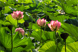 Blazing Waterlilies - Study VI - waterlilies, bucharest, waterlilies of bucharest, photography, egyptian waterlilies, low key, low-key