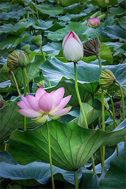 Rise of Waterlilies - Study I - waterlilies, bucharest, waterlilies of bucharest, photography, egyptian waterlilies, low key, low-key