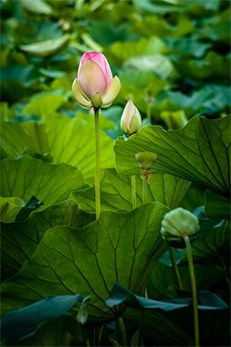 Rise of Waterlilies - Study II - waterlilies, bucharest, waterlilies of bucharest, photography, egyptian waterlilies, low key, low-key