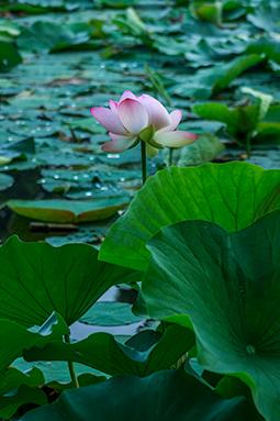 Styled Waterlily - Study I - waterlilies, bucharest, waterlilies of bucharest, photography