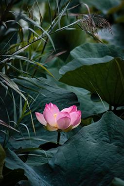 Styled Waterlily - Study IV - waterlilies, bucharest, waterlilies of bucharest, photography, egyptian waterlilies, low key, low-key