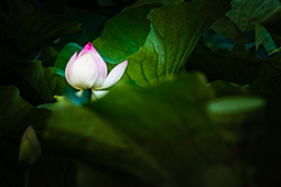 Styled Waterlily - Study V - waterlilies, bucharest, waterlilies of bucharest, photography, egyptian waterlilies, low key, low-key
