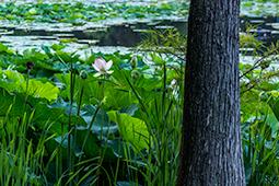 Waterlilies and Cypress - Study II - waterlilies, bucharest, waterlilies of bucharest, photography