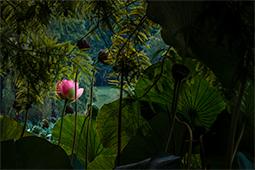 Waterlilies and Cypress - Study III - waterlilies, bucharest, waterlilies of bucharest, photography, egyptian waterlilies, low key, low-key