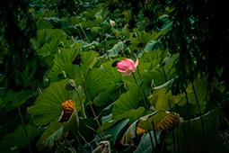 Waterlilies and Cypress - Study IV - waterlilies, bucharest, waterlilies of bucharest, photography, egyptian waterlilies, low key, low-key
