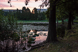 Waterlilies at Dawn - Study III - waterlilies, bucharest, waterlilies of bucharest, photography