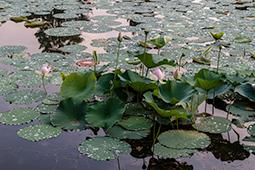 Waterlilies at Dawn - Study IV - waterlilies, bucharest, waterlilies of bucharest, photography