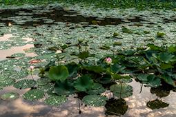 Waterlilies at Dawn - Study V - waterlilies, bucharest, waterlilies of bucharest, photography