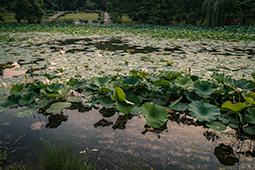 Waterlilies at Dawn - Study VI - waterlilies, bucharest, waterlilies of bucharest, photography