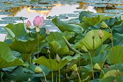 Waterlilies at Dawn - Study VIII - waterlilies, bucharest, waterlilies of bucharest, photography