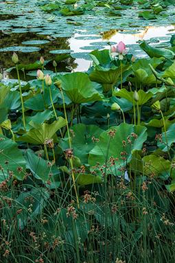 Waterlilies at Dawn - Study IX - waterlilies, bucharest, waterlilies of bucharest, photography