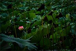Waterlilies with Fruits - Study XII - waterlilies, bucharest, waterlilies of bucharest, photography, egyptian waterlilies, low key, low-key