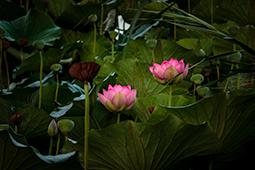 Waterlilies with Fruits - Study III - waterlilies, bucharest, waterlilies of bucharest, photography, egyptian waterlilies, low key, low-key