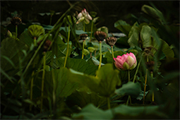 Withering Waterlilies - Study III - waterlilies, bucharest, waterlilies of bucharest, photography, egyptian waterlilies, low key, low-key