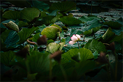 Withering Waterlilies - Study IV - waterlilies, bucharest, waterlilies of bucharest, photography, egyptian waterlilies, low key, low-key