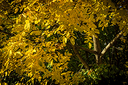 Yellow Leaves of Walnut - autumn, autumn pastels, photography