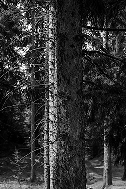 Cacophony - forest, whispers of trees, photography